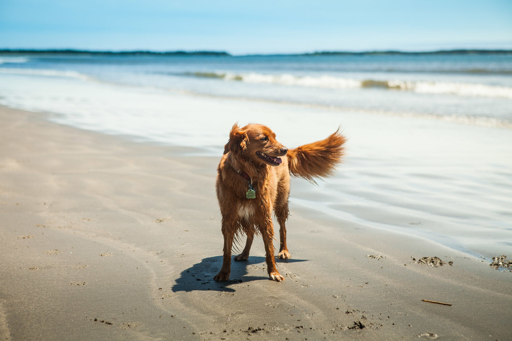 Sasha, the Nova Scotia Duck Tolling Retriever on a sunny day in Crescent Beach, Nova Scotia, Canada