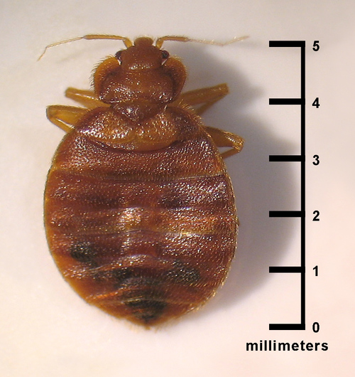 Bed Bug Picture Bed Bug Bites Bed Bug Photo Bugs That Look