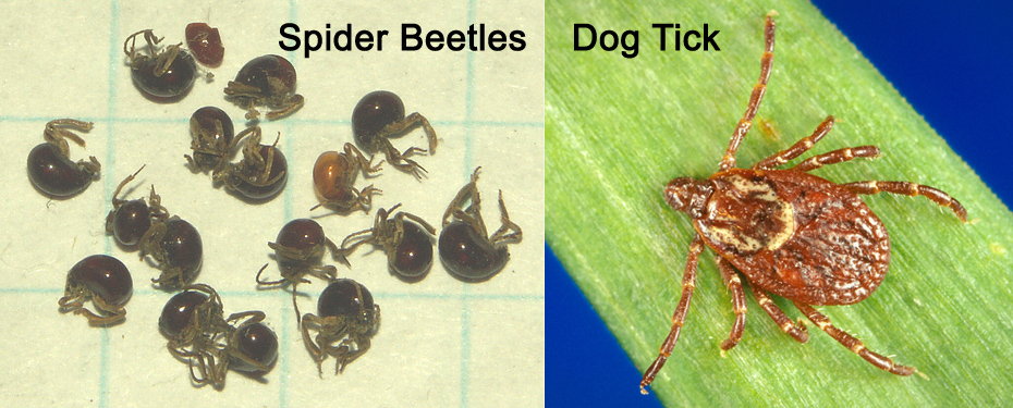 Gibbium spider beetles on left (aka hump or shiny spider) and American dog tick on right. Photo courtesy of L. Sorking (left) and James Gathany / CDC (right).