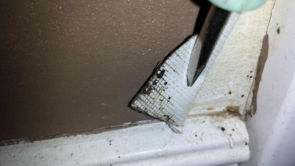 Bed bug fecal spotting is visible along the top edge of the baseboard as well as on the backside of the wallpaper which has been lifted back to reveal more fecal spotting.