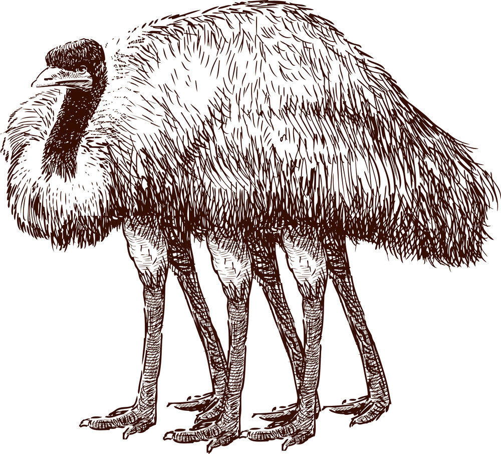 Drawing of the recently discovered 'Ostrich Bug' or Cimex ridiculous.