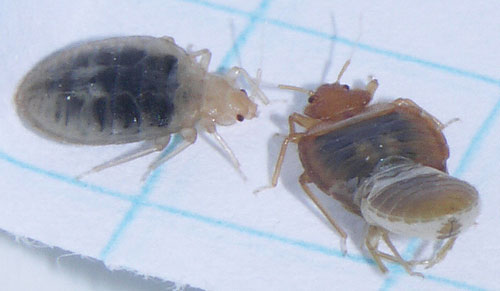 Bed bug on right is in the process of shedding its skin; bug on left recently moulted and is noticeably paler in colour. Blue squares are 1/4 inch. Photo courtesy of Lou Sorkin.