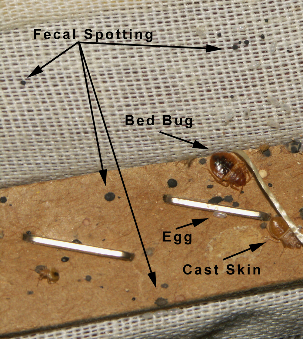 Bed bug harbourage around staples on tack strip for upholstered furniture. Note the egg is empty. Photo courtesy of Lou Sorkin.