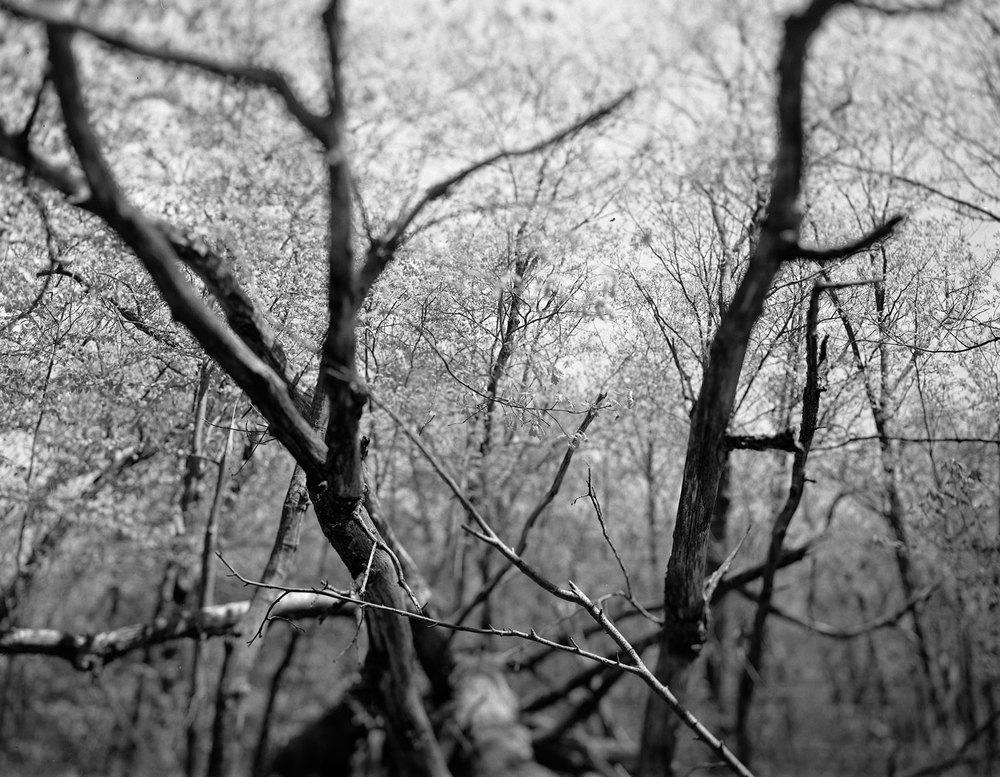 oz-delirium-treeG.jpg