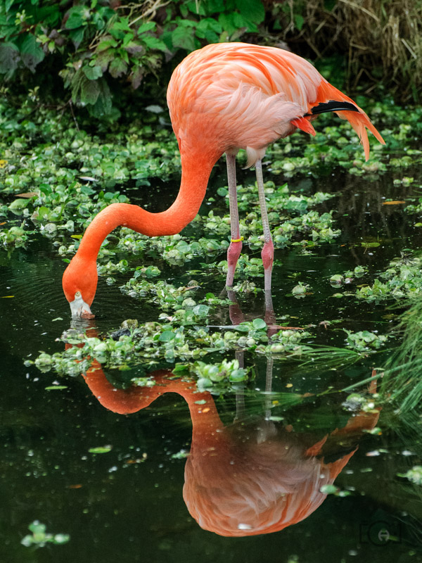 Flamingo catching a drink and casting a reflection