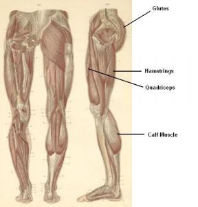 leg-calf-hamstring-quadricep-muscle-anatomy2