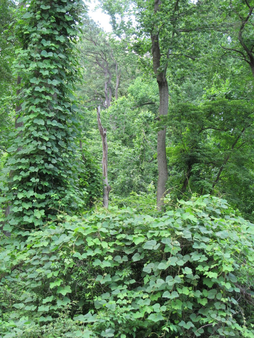 Kudzu vine Photo by: Alan Leslie, University of Maryland
