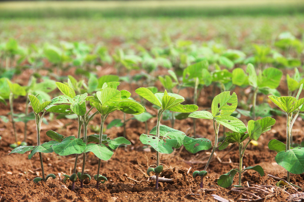 Soybean plants Photo by: Bill Lamp, University of Maryland