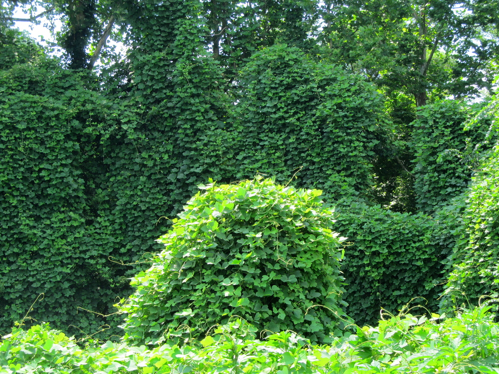Kudzu patch off of the Anacostia Trail system in Prince George's County, MD Photo: Alan Leslie