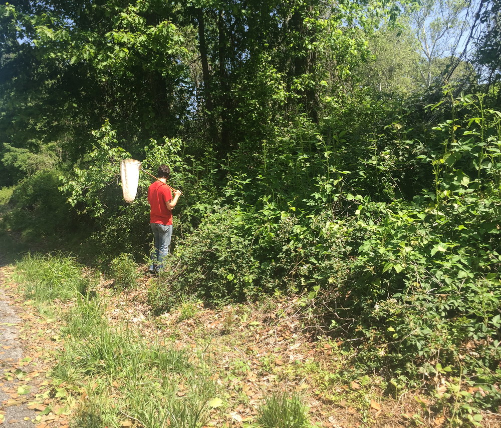 Field technicians sweep the area for any kudzu bugs with large canvas nets.