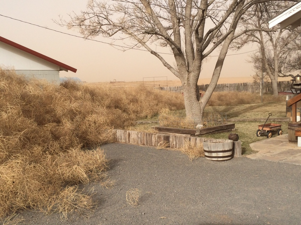 The overwhelming amount of Tumbleweeds that blew onto the ranch during the winter of 2013.