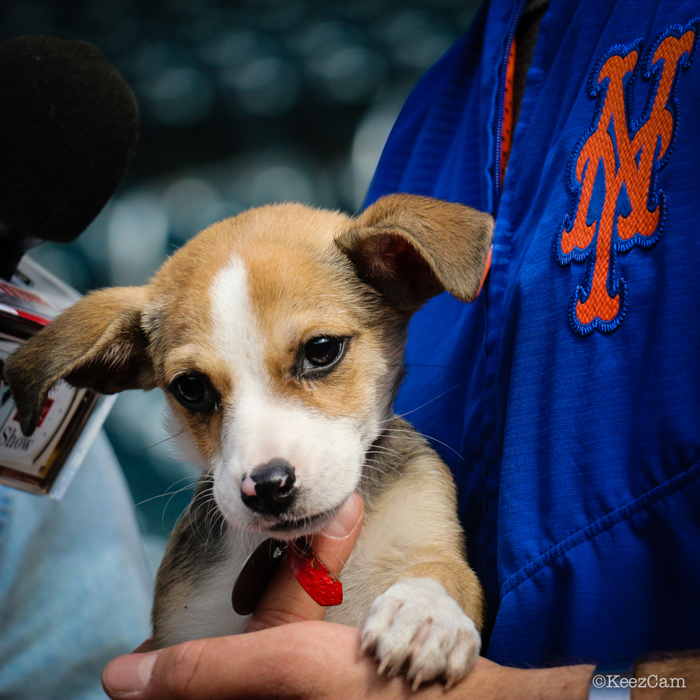 Puppies at Citi Field