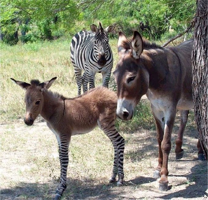 Zonkey-Donkey-Zebra-Named-Ippo.jpg