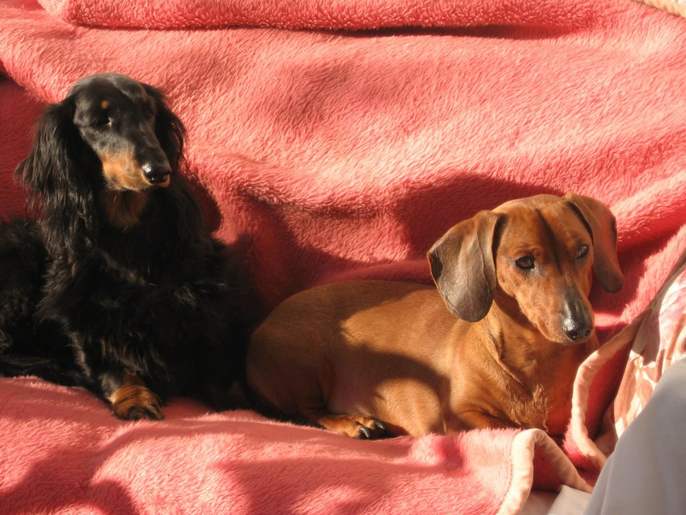Filbert and Ivy, the Fogarasi family dogs.