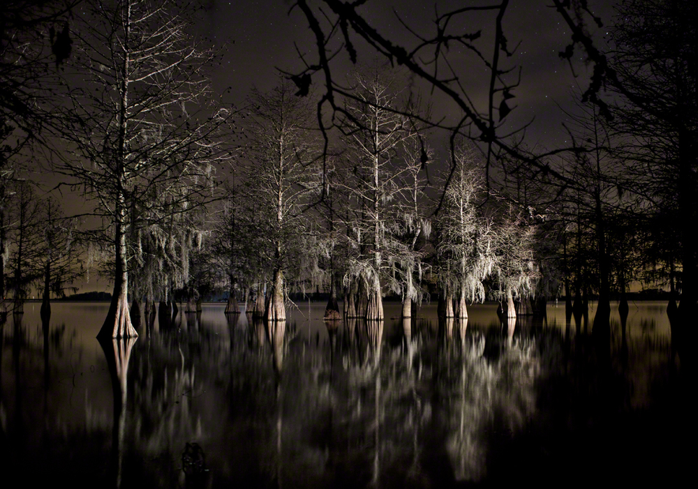 bald cypress at night