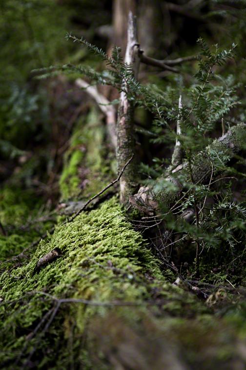 moss covered hemlock