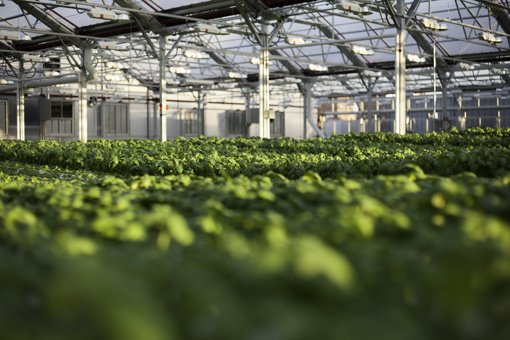 thousands of unblemished basil plants