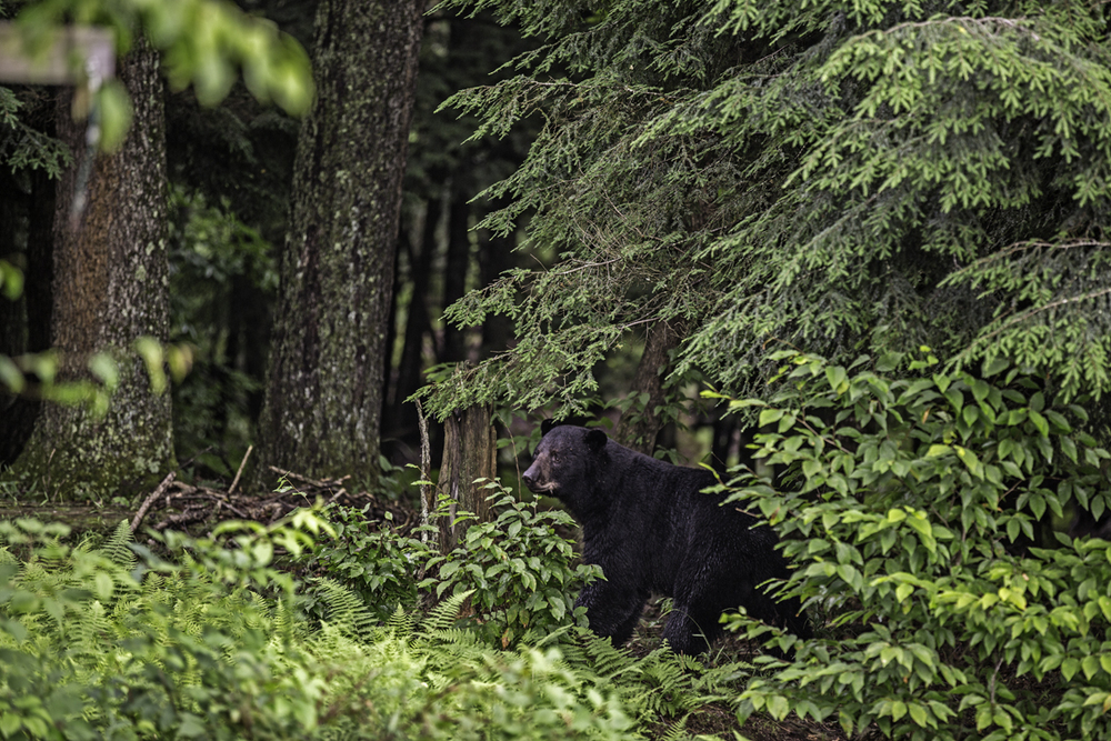 the bear that visits the property quite frequently