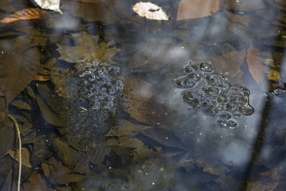 Frog eggs litter the puddles this time of year.