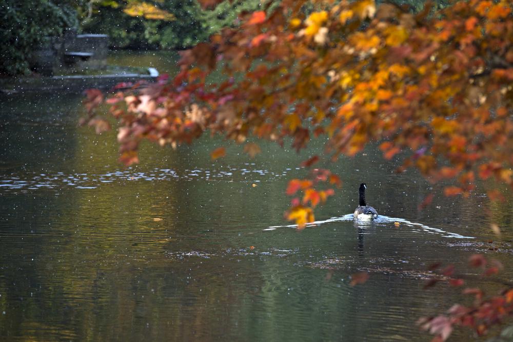 Kooser Lake's lone goose resident.