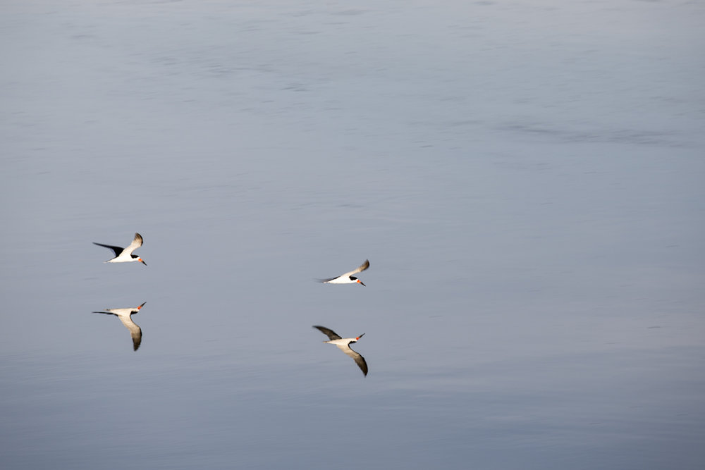 Black Skimmers, flying over the glassy waters of Cherrystone inlet in the morning.