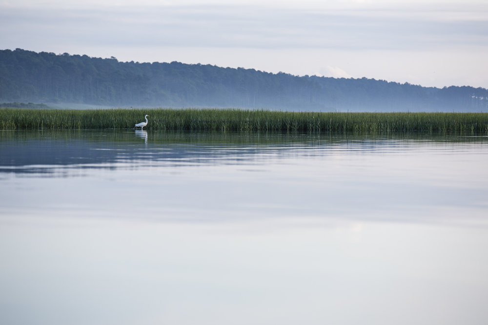 A Great Egret stalking breakfast in Mockhorn Bay.