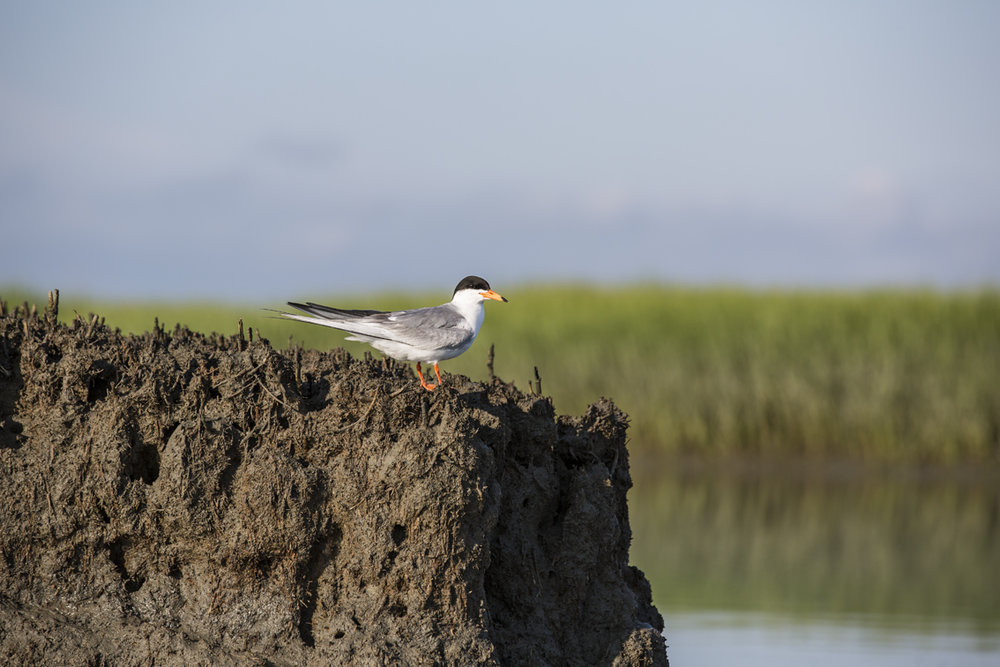 A common tern in Mockhorn Wildlife Refuge