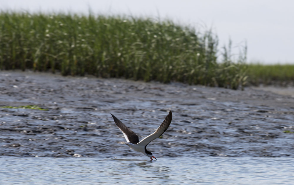 Another Black Skimmer doing its thing.  These birds are awesome.