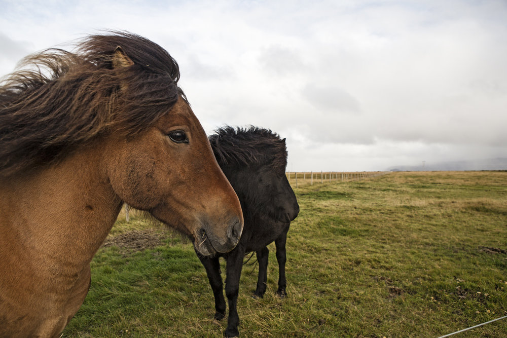 The Icelandic horses near Seljalandsfoss