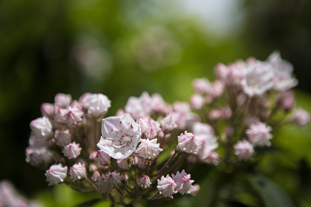 The mountain laurel was in full bloom.