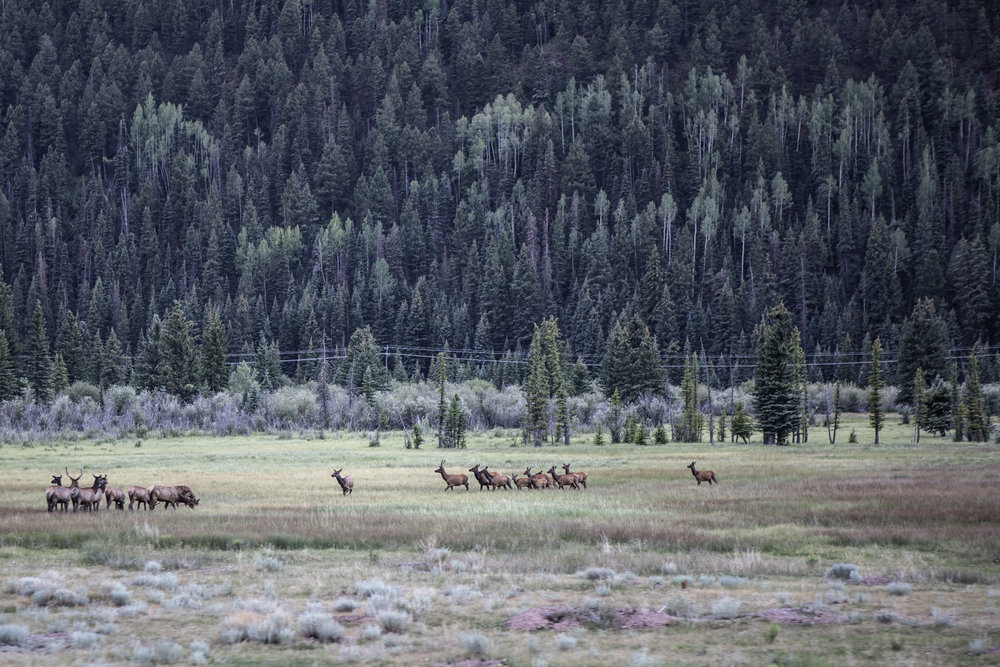 A herd of Elk in the valley leading into Telluride.