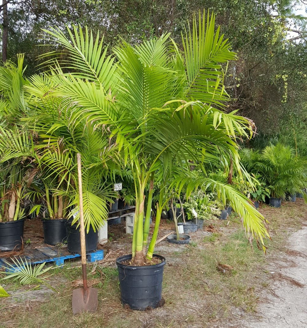 Mature Palm Tree