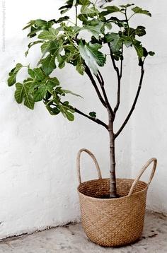 A big leafy plant in a basket.