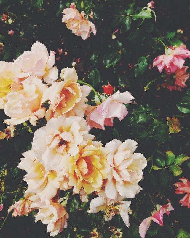 roses | sally mussellwhite | vsco grid