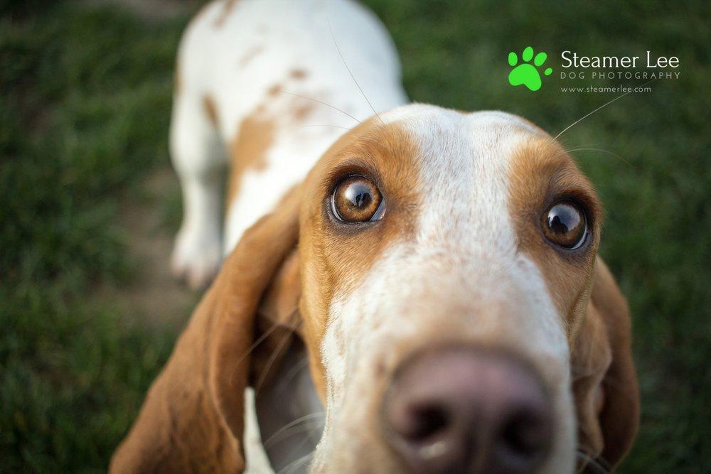 Steamer Lee Dog Photography Basset Hound.jpg