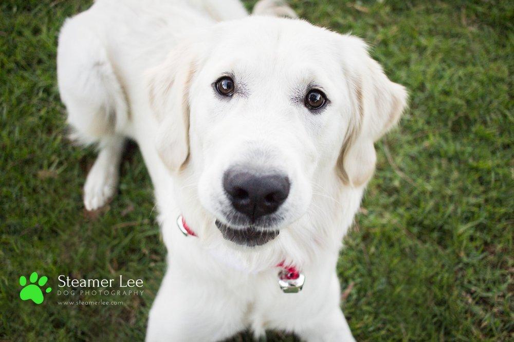 Steamer Lee Dog Photography - Ava White Golden Retriever - 17.jpg