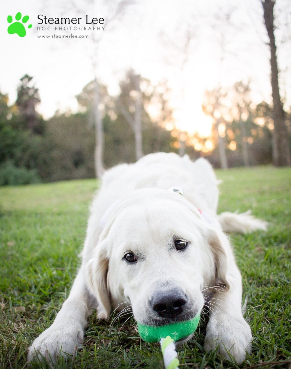 Steamer Lee Dog Photography - Ava White Golden Retriever - 9