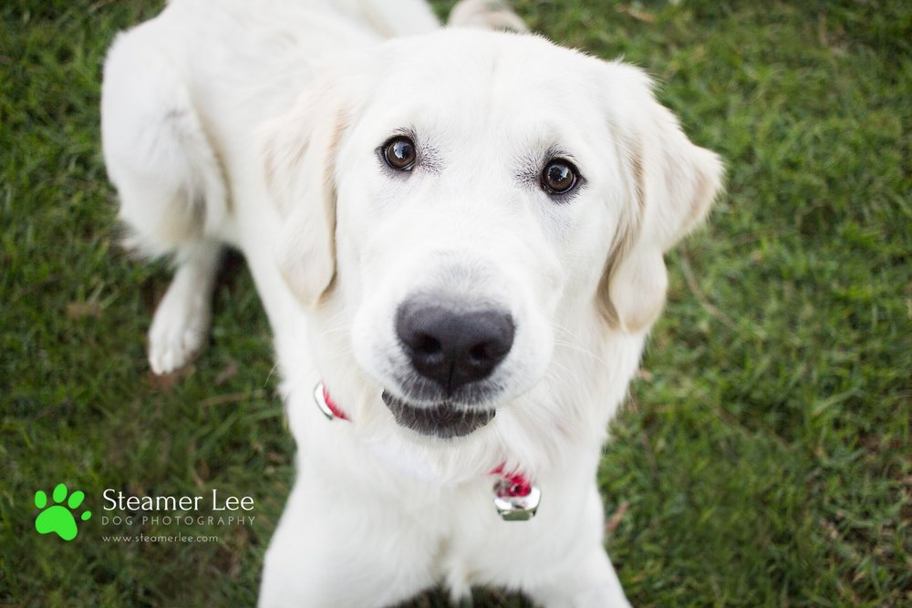 Steamer Lee Dog Photography - Ava White Golden Retriever - 17