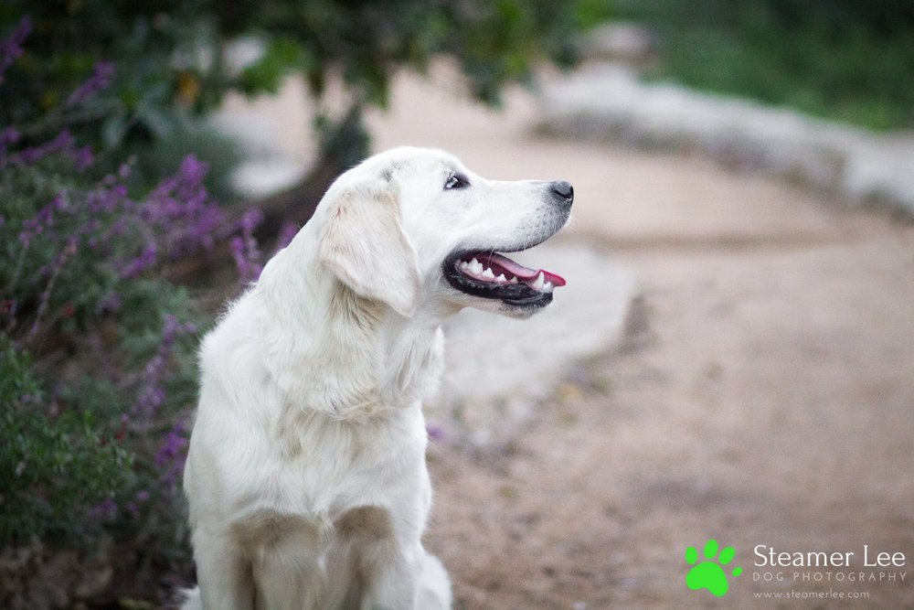 Steamer Lee Dog Photography - Ava White Golden Retriever - 15