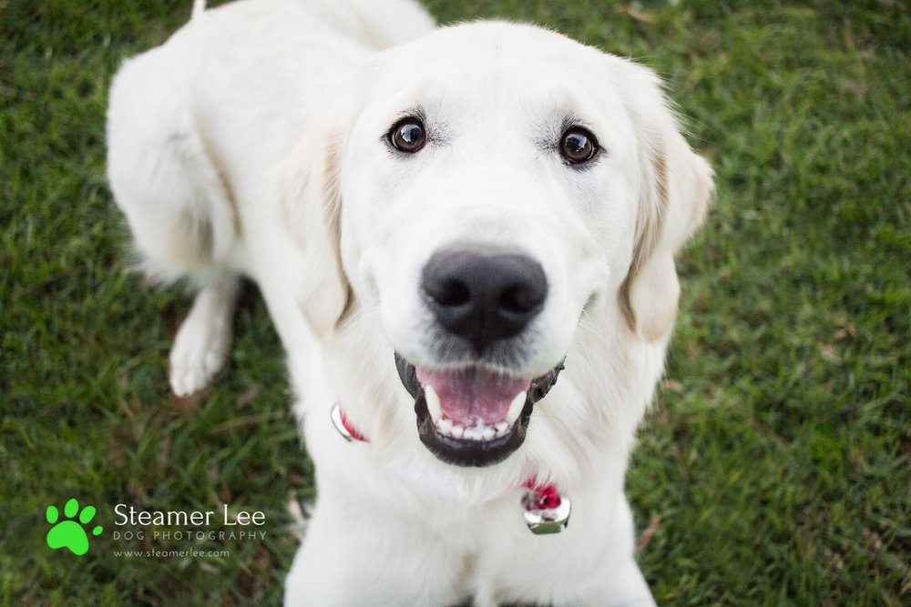 Steamer Lee Dog Photography - Ava White Golden Retriever - 8