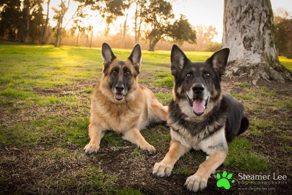 Steamer Lee Dog Photography - Luc and Rubie German Shepherd Blog Post - 3