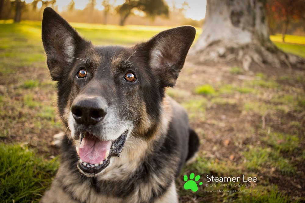 Steamer Lee Dog Photography - Luc and Rubie German Shepherd Blog Post - 2