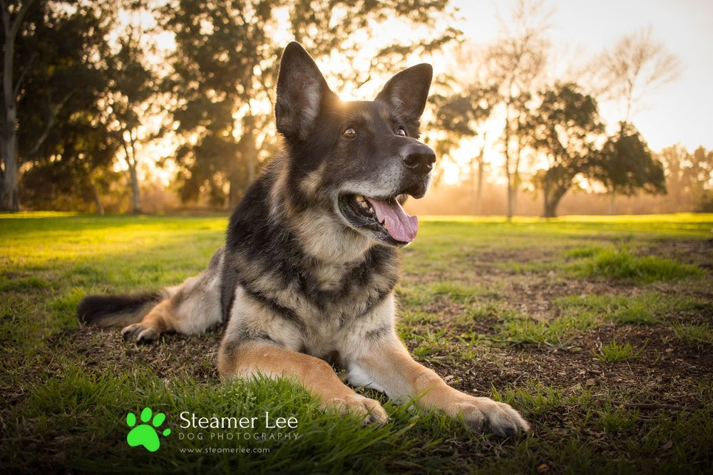 Steamer Lee Dog Photography - Luc and Rubie German Shepherd Blog Post - 1