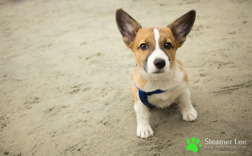 Corgi Beach Day - Vol. 1 16.jpg