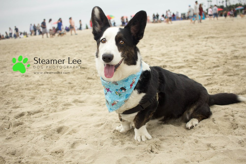 Steamer Lee Dog Photography - July 2017 So Cal Corgi Beach Day - Vol.2 - 2.jpg