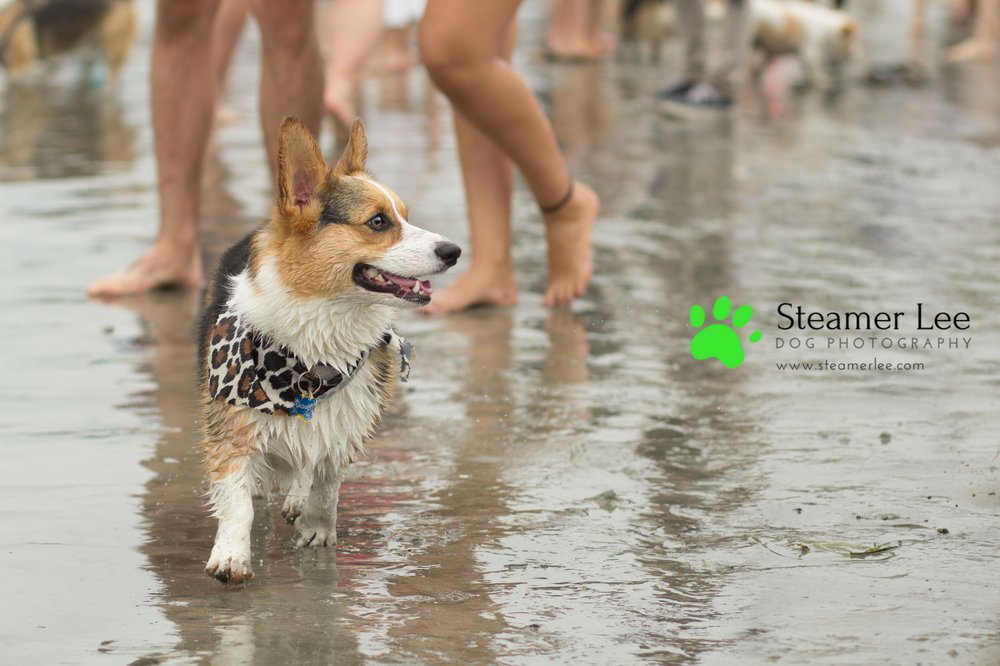 Steamer Lee Dog Photography - July 2017 So Cal Corgi Beach Day - Vol.2 - 3.jpg