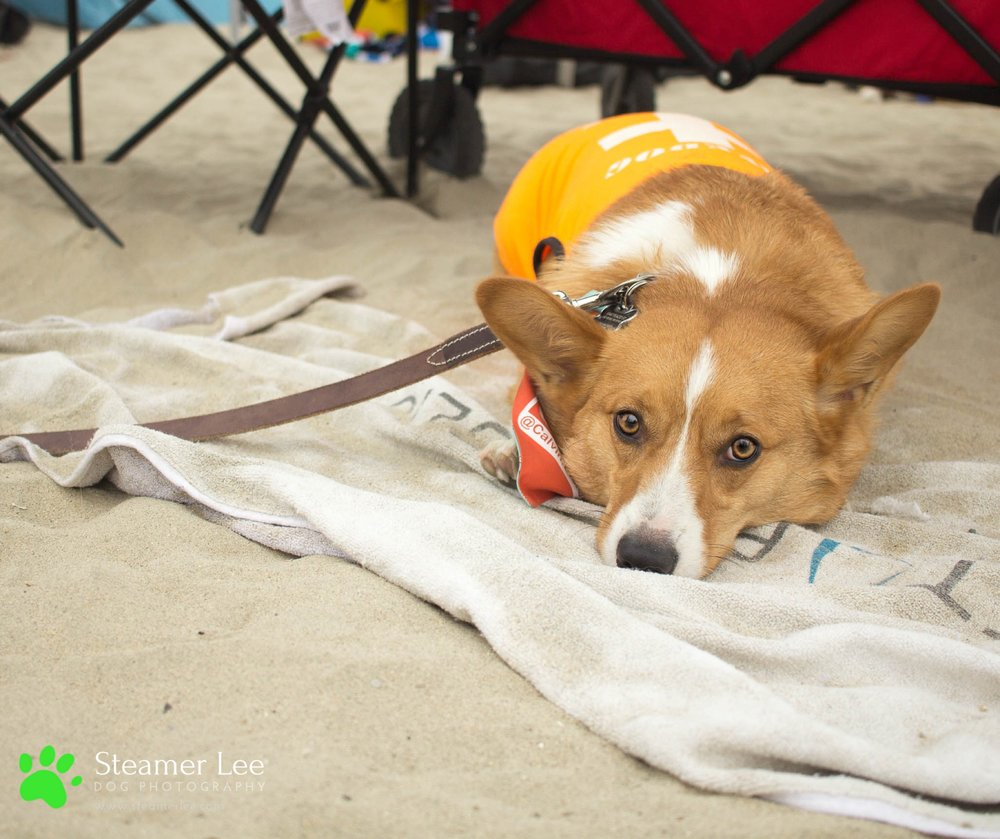 Steamer Lee Dog Photography - July 2017 So Cal Corgi Beach Day - Vol. 3 - 40.jpg