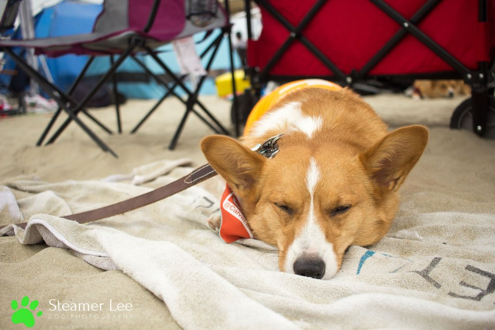 Steamer Lee Dog Photography - July 2017 So Cal Corgi Beach Day - Vol. 3 - 42.jpg