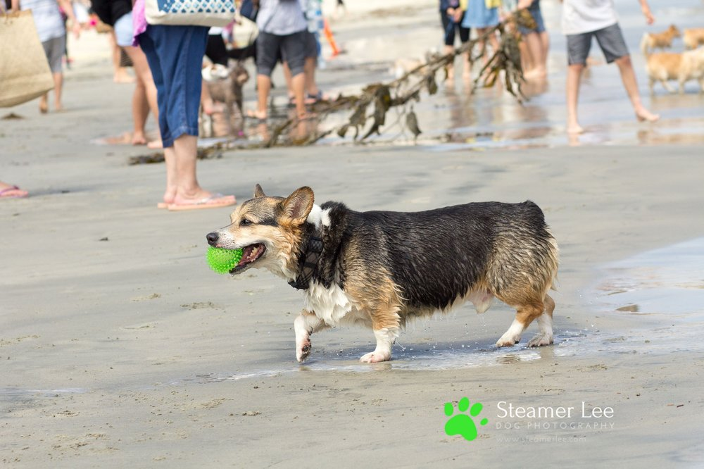 Steamer Lee Dog Photography - July 2017 So Cal Corgi Beach Day - Vol. 3 - 24.jpg
