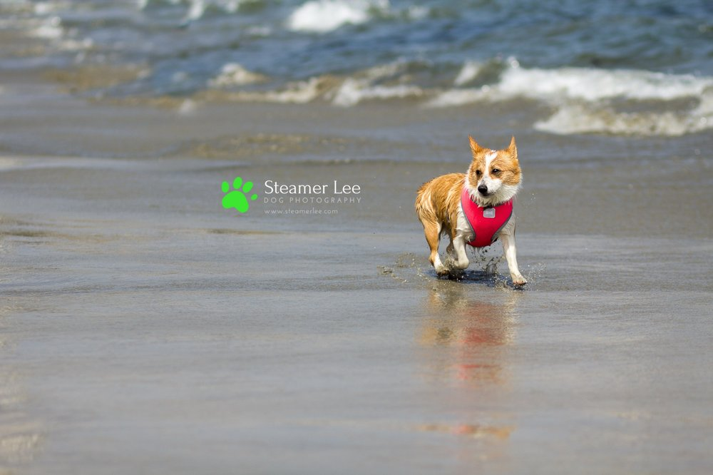 Steamer Lee Dog Photography - July 2017 So Cal Corgi Beach Day - Vol. 3 - 21.jpg